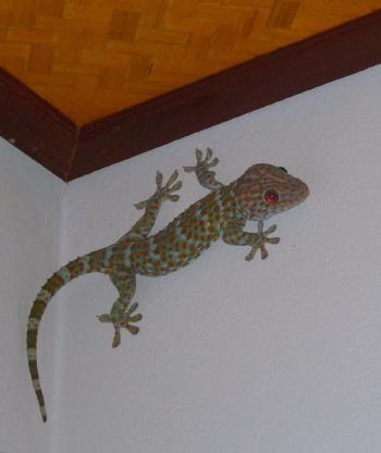 gecko_thailand
